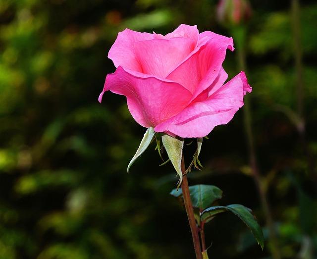 rose-441930_640